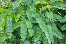 Medicinal Plants / Medicinal Plant nad Their Uses