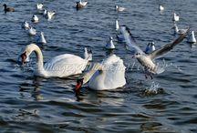 PASARI * BIRDS / cygnes, lebede, vrabii, sparrows, pescarusi, seaguls,
