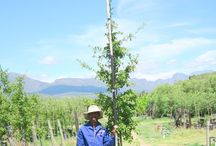 Quercus nigra (Water Oak) / This medium-sized deciduous is both handsome and very fast-growing. The Water Oak also works very well as a shade tree. We currently stock 40L, 100L, 200L, 400L and 1000L. (Last updated 28 March 2017)