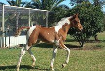 Horse Mania