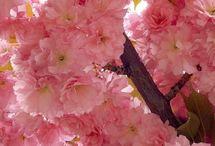 ✿⊱ Sakura: Hanami ✿⊱