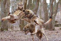 Expressive wolves