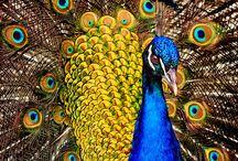 Peacocks / by Luís de Lacerda