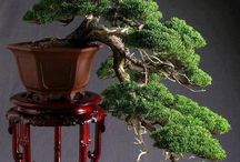 Bonsai Ideas