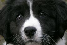 landseer ECT & dogs