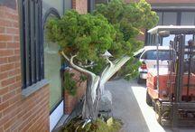 Bonsai / Foto di bonsai. Alcuni bonsai sono miei, altri fotografati a mostre o nella serra del vivaista. Infine alcune immagni di bonsai sono prese da internet.