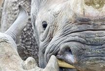 rhino' s