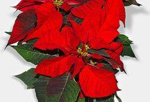 Adventio / Navidad-Natal