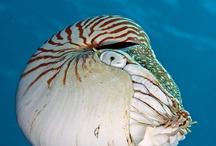 Nautilus & Ammonites