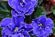 flori-violete
