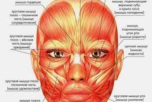 лицо мышцы