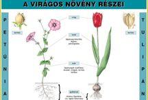 virágos növény részei