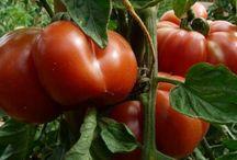 Сад, огород -томаты