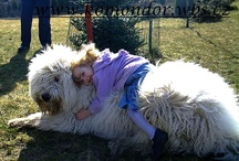 Komondor / Dogs