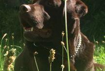 Labrador / Bruine labrador