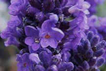 lavender mystiques