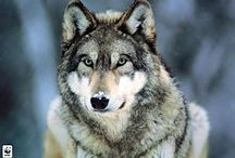 Animals / Wolves, Horses, Puppies, Dogs, Cats, Kittens, and all thing in between