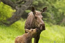 Animals Moose / by Frieda Hoppen