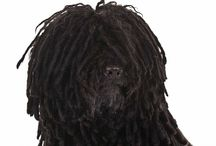 """Puli / Compact, vigorous and alert, the Puli is a tough-as-nails herding dog, able to perform its duties across any terrain. The Puli coat is wavy or curly and naturally clumps together into wooly """"cords,"""" which protects them from harsh weather. Coat colors include black, gray and white. Today, the Puli is often seen in the show ring, as well as in the herding, obedience, agility, tracking and therapy dog arenas."""