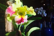 Orchid Love / Cattleya catching the last of the autumn sun