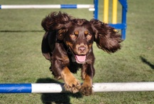 Dog Agility / Dog agility is a fun sport for both dog and handler.  I love taking part in it... I also love photographing it.