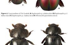 ceratocantidae