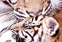 isot kissat