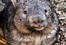 """Wombats / I live with a little Wombat """"Wally"""" who will, one day, be released back into the wild where he belongs."""