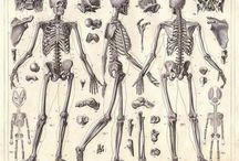 A • Bones