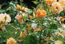 Les rosiers à fleurs groupées et arbustifs