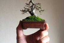 shoin bonsai