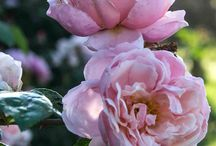 Our Lovely Roses and Flowers / For rose lovers, Helen's hundreds of roses are a treat of colour and fragrance in springtime.