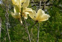 Magnolias at Klehm / Magnolias in bloom and budding. Rockford, IL / by Klehm Arboretum & Botanic Garden