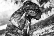 Oud engelse bulldogs