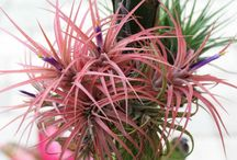 Ilmakasvit/Airplants