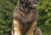 chiens leonberg / animaux
