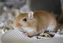 Maus, mongolische Rennmäuse