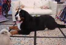 cani - bovari / bovari a fashion dog