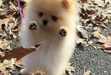 pomeranian perfection...