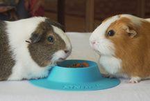 Cute Guinea Pigs / Adorable photos and videos