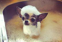 Chihuahua's! <3