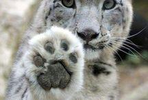 Snežný leopard