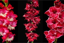 Gladiolus Societies etc
