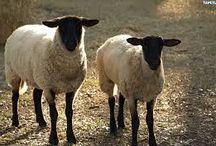 ekologiczny wypas owiec