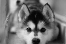 Dogs - Husky (my ultimate want)