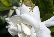Green Tree Frogs :)