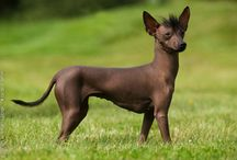 Xoloitzcuintle mexikansk nakenhund