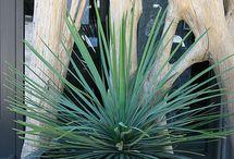 OTHER DESERT PLANTS / NOT CACTUS