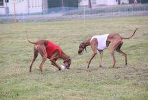 Windhunde - Coursing und Rennen / Fotos von den Machern von Windhundefreunde.de