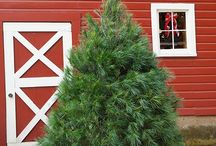 Christmas Trees at Hensler's / We raise them right here at Hensler's. Beautiful Fraser Fir, Scotch Pine and White Pine are available in our tree lot or to cut down yourself in our fields during Christmas Fest.
